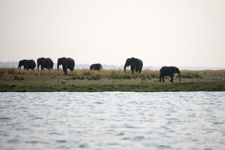 Elephants standing in the lake against clear sky