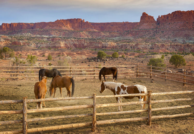 Capitol Reef, Utah Trail Horses. Horses and southwest landscapes seem to go together well. The beautiful morning light adds to the atmosphere. Capitol Reef Morning National Park Travel American Southwest Corral Domestic Domestic Animals Fence Group Of Animals Horse Land Landscape Livestock Mammal Mountain Mountains Nature No People Outdoors Ranch Sky Southwest  Sunrise Trail Horses