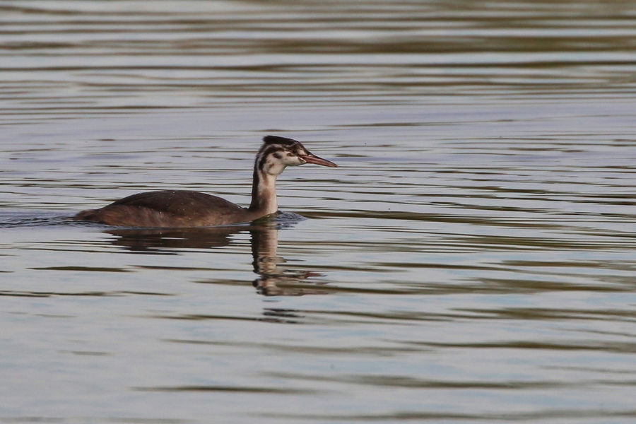 Young Great Crested Grebe Animal Animal Themes Animal Wildlife Animals In The Wild Bird Day Duck Floating On Water Lake Nature No People One Animal Outdoors Poultry Reflection Rippled Side View Swimming Vertebrate Water Waterfront
