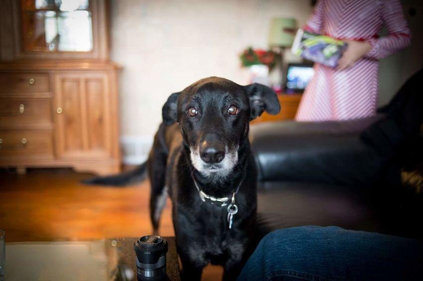Pets Domestic Animals Dog Labrador Retriever Portrait Black Labrador EyeEmNewHere Good Boy