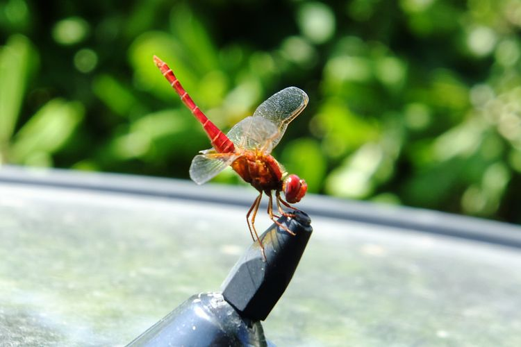 Insect No People Libelula