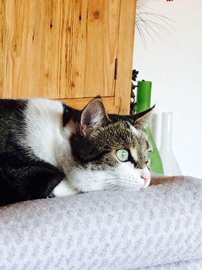 Meine schöne mieze #gatos #Katze Cat Domestic Cat Pets Domestic Domestic Animals Mammal Feline EyeEmNewHere