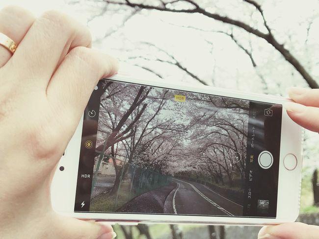 iPhone7Plus 桜の並木道 sakusa