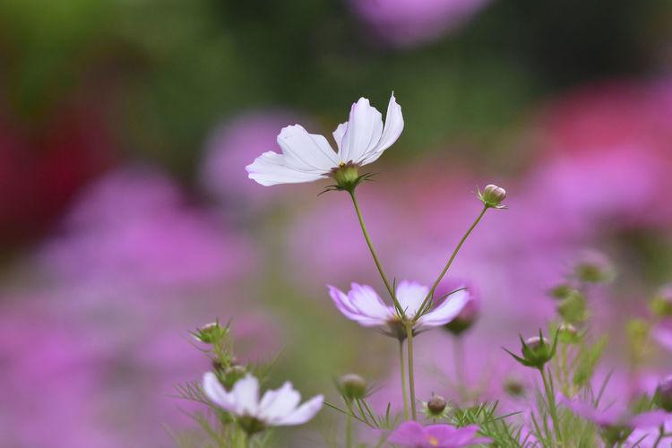 Flower Cosmos