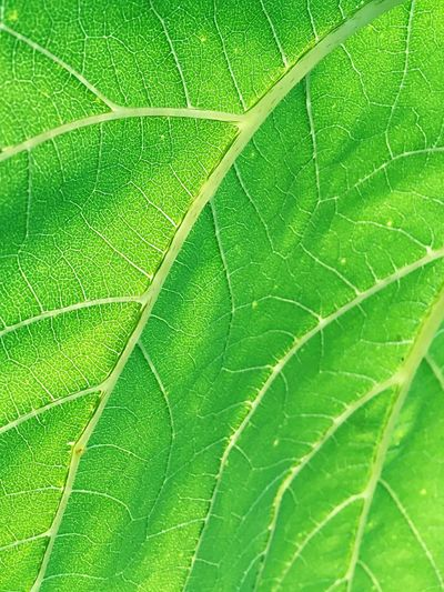 Sunflower Leaf Sunlight Relaxing Pattern pattern of nature Leaf Vein Green summer Plant Calm vibrant