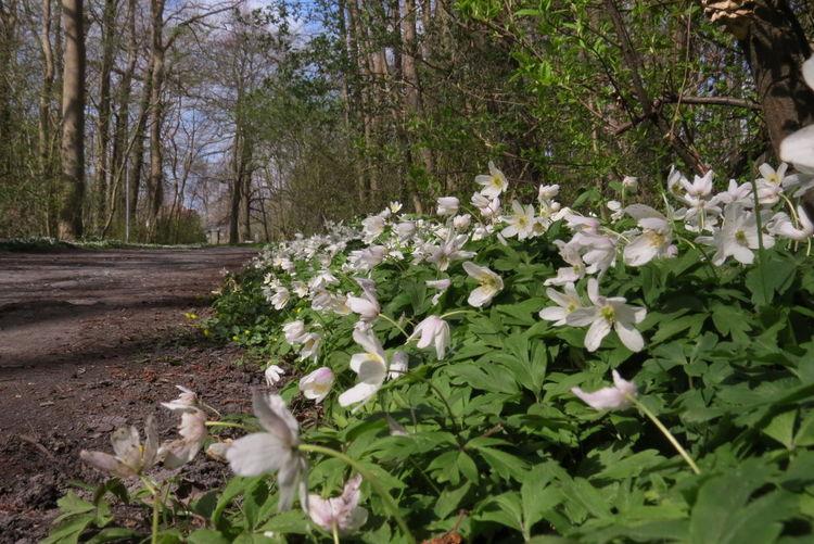 Im Park von Juliusruh auf Rügen Beauty In Nature Blossom Botany Day Flower Green Color In Bloom Nature Outdoors Park Plant Tree Wood Anemones