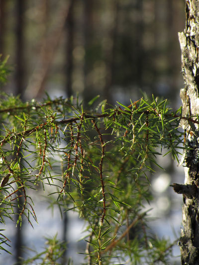 Juniperus Communis Beauty In Nature Branch Close-up Day Focus On Foreground Forest Green Color Juniper Nature Outdoors Sunny Day Tree