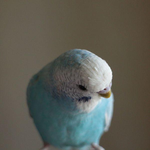 Muhabbetkusu Parakeet Nano なの インコ セキセイインコ 鳥 ナノ