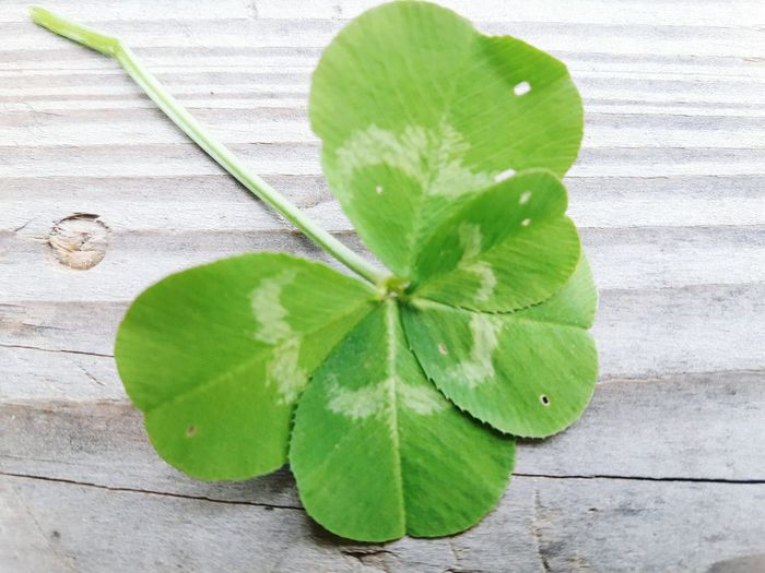 Five leaf clover Green Color Leaf Wood - Material Studio Shot Close-up Plant No People Indoors  Textured  Freshness Day Nature Lucky Charms Good Luck Symbol Good Luck Good Luck Charms Clover Green Color Luck Five Leaf Clover Close Up