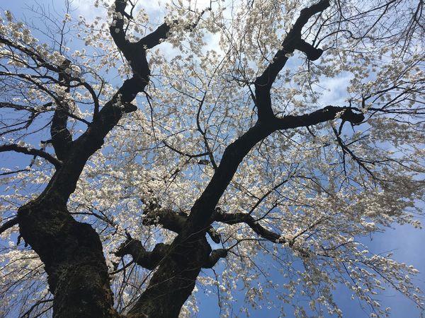 Cherry Blossoms Tree Branch Beauty In Nature Inokashira Park