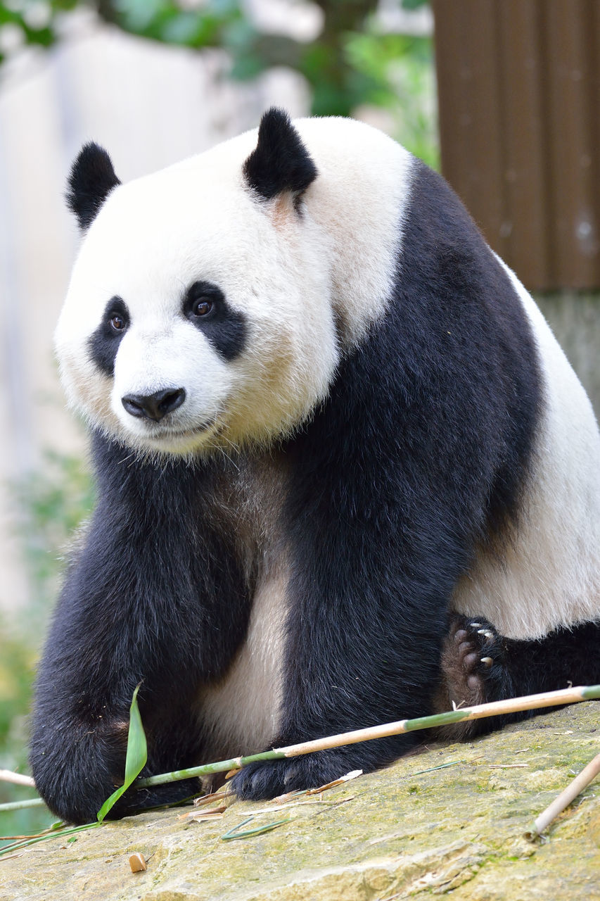 one animal, animals in the wild, bear, mammal, animal themes, giant panda, wildlife, panda, panda - animal, focus on foreground, animal wildlife, no people, endangered species, bamboo - plant, outdoors, day, looking at camera, close-up, portrait, nature