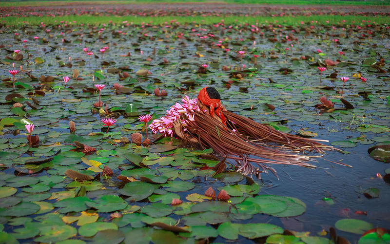 Man carrying lotus water lilies in pond