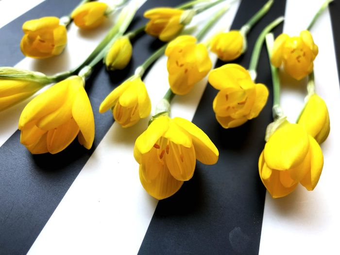Yellow crocuses on black and white background Solar Plexus Chakra Warm Gratitude Kind Soft Kindness Gentleness Nature Floral Flora Petals Family Same  Black And White Stripes Group Community Yellow Freshness Indoors  Close-up Still Life Table High Angle View No People Focus On Foreground Flower Flowering Plant Large Group Of Objects Day