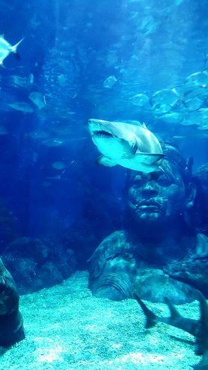 No Escape Fierce Shark Attack Underwater Underwater World Silence Stillness Predator Hunting