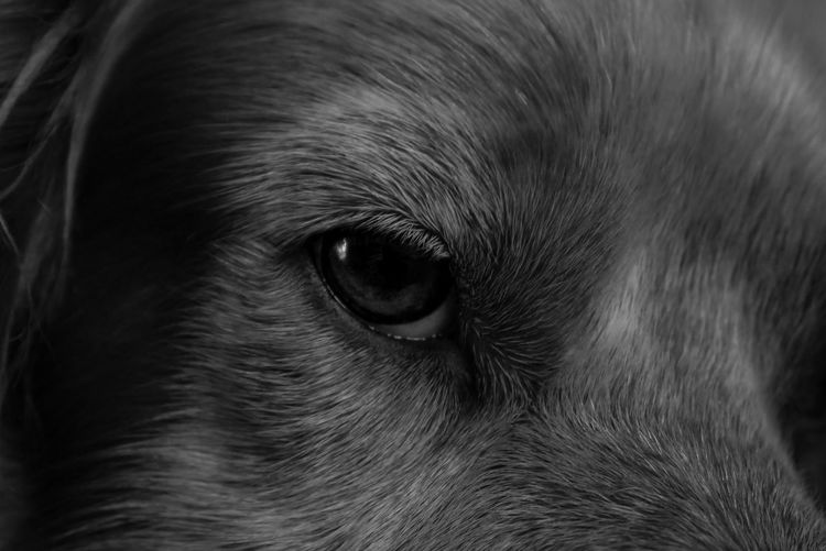 always watching Pets Portrait Looking At Camera Dog Eye Close-up Eyeball Animal Eye Eyebrow Iris - Eye Sensory Perception Eyelid Eyelash Animal Nose Eyesight