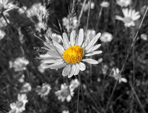 Paint The Town Yellow Daisy Flowers Daisy Flower Head Daisy Close Up Daisy Flower Daisy Day Springtime No People Close-up Outdoors Wildflower Summer Yellow Growth Pollen Freshness Beauty In Nature Flower Head Flower Uncultivated Plant Nature Fragility Petal