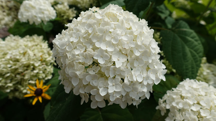 Hydrangea Hydrangea Flower Beauty In Nature Bunch Of Flowers Close-up Day Flower Flower Head Flowering Plant Focus On Foreground Fragility Freshness Growth Inflorescence Leaf Nature No People Outdoors Petal Plant Plant Part Vulnerability  Water White Color