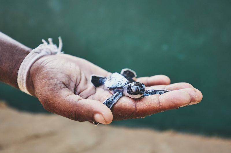 Rescue of one day old green turtle. Human hand holding newborn turtle in hatchery in Sri Lanka. Newborn Young Animal New Life Human Hand Hand One Person One Animal Turtle Green Turtle Sea Life Rescue Help Human Body Part Real People Holding Close-up Sri Lanka Animal Themes Animal Man Cute Animal Wildlife Nature Hatching Palm My Best Photo