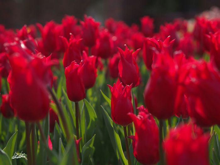 そう、感情はいつもあとからついてくる E-PL3 Flower Tulip 冬咲きチューリップ 赤と緑のコントラスト Contrast Noedit