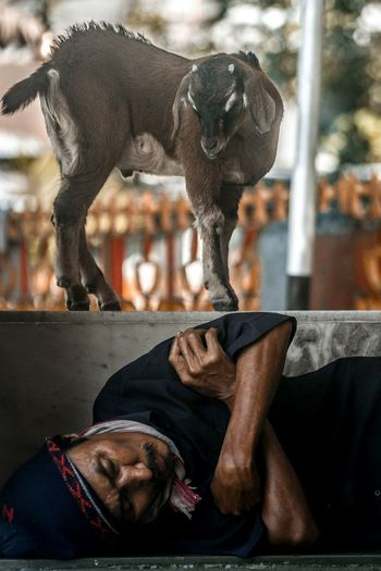 Are you? People Assam, India Brahmaputra Tezpur Goat Sleeping Pets Close-up Human Connection