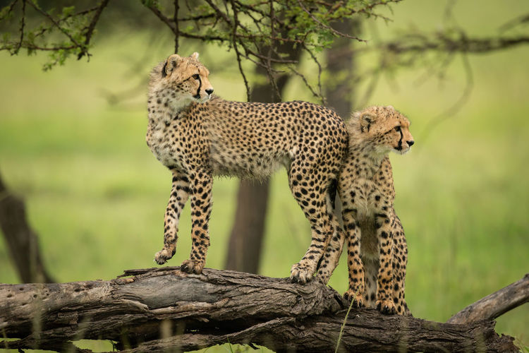Cheetah cub stands on log with another