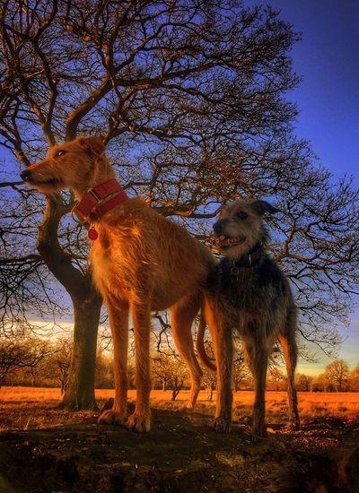 Leo n Lola... I Love My Dog ❤ Lurcher Sighthound Bushy Park LEO... The One Eyed Lurcher... Lola❤️ Leo N Lola Animal Portrait Animal Photography