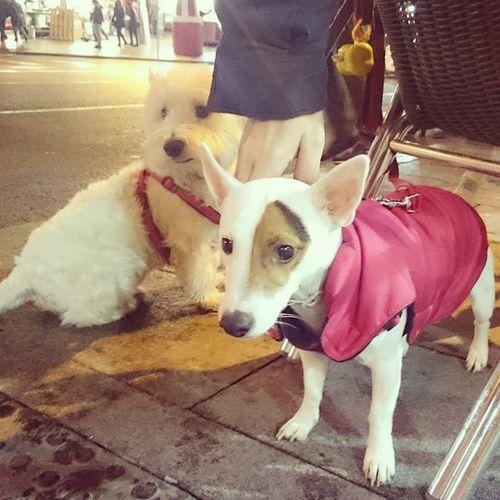 sweet... 😉 Dogs Animais Cães Animals TheMask Milo Themaskdog TheMask Jimcarrey Jackrussellterrier Inmadrid Madrid Milothedog Puppy Puppymilo