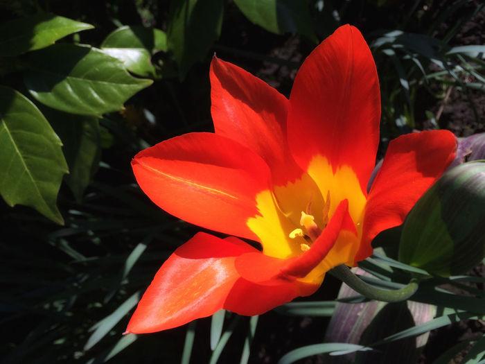 Tulip Tulip Flower Red Spring