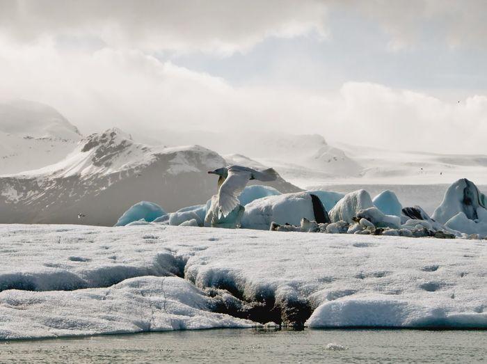 Ice bird EyeEmNewHere Iceland Jökulsárlón Höfn Bird Birdpics Birds Mountain Snow Sea Cold Temperature Winter Polar Climate Water Glacier Frozen