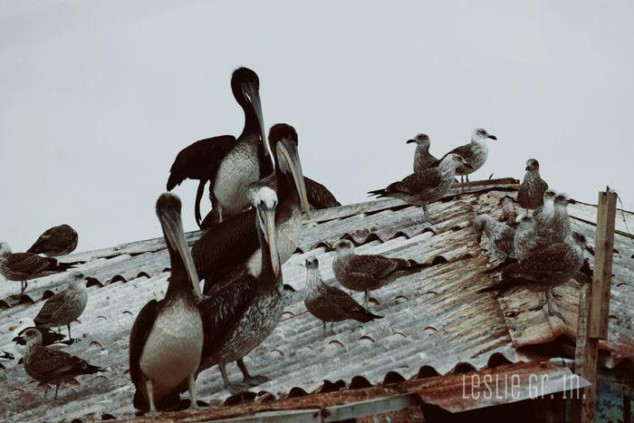 Aves Pelicano Pelican Animals Fauna Leslie_Gr_In Gaviota Sanantonio