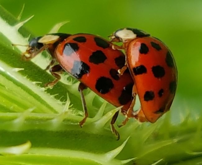Censorship ? Insect Animal Themes Animals In The Wild Ladybug Outdoors Day Nature No People Close-up Macro Animal Wildlife Having Fun