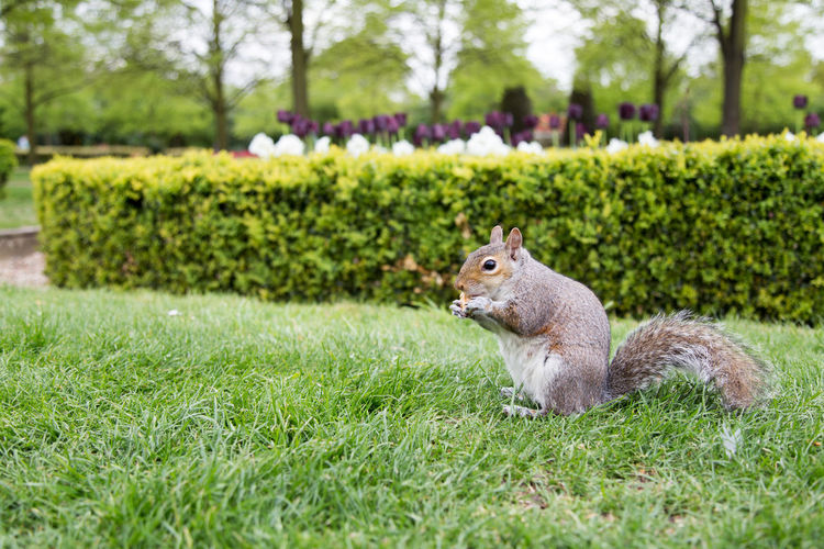 Squirrel on grass in park