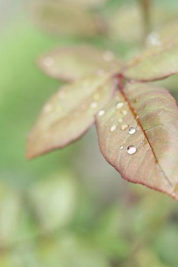 Leaves🌿 Droplets RainyDays🌁 Redleaf