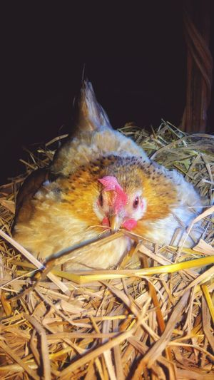 Beautiful dwarf chicken in the farm Farm Chicken Animal Pets Dwarf Chicken Beautiful Chicken