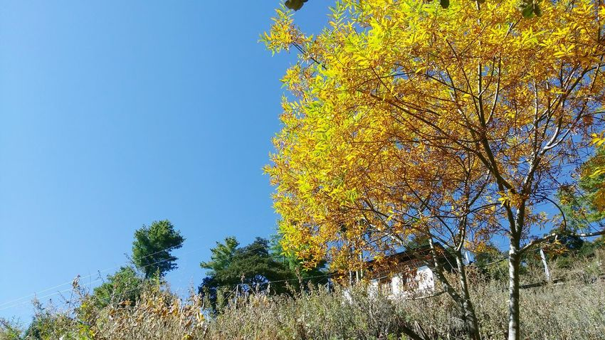 Yellow Leaves Blue Sky Contrasting Colors Bright Sunny Day No People Peace And Quiet The Great Outdoors - 2017 EyeEm Awards Paint The Town Yellow