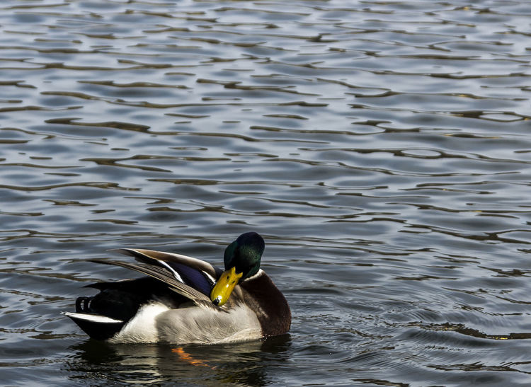 Day Outdoors Animal Themes Nature No People Waterfront Animals In The Wild Swimming Lake Dug Ente Jacqueline Schreiber Canon EOS 600D DSLR Sigma 18 -125mm 1:3.8 - 5.6 DC OS HSM Mirror Reflection Outdoors Photograpghy  Water Reflections Water_collection Animal Photography Hildesheim Tonkuhle