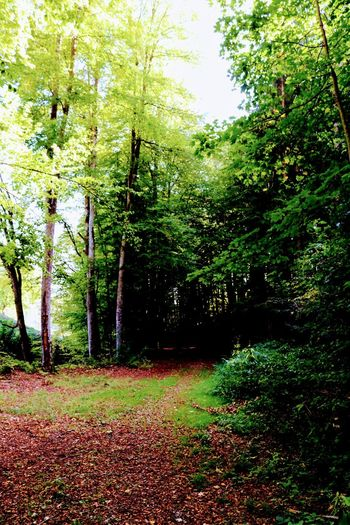 Forest way Tree Leaf Grass Green Color Greenery Countryside Woods Vegetation Flora Grassland