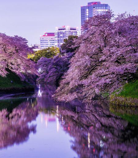 東京 桜 千鳥ヶ淵 反射 水面反射 Tokyo Cherry Blossoms Reflection Reflections Water Reflections