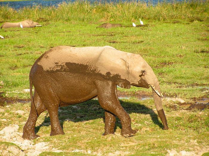 Elephant Standing In A Field