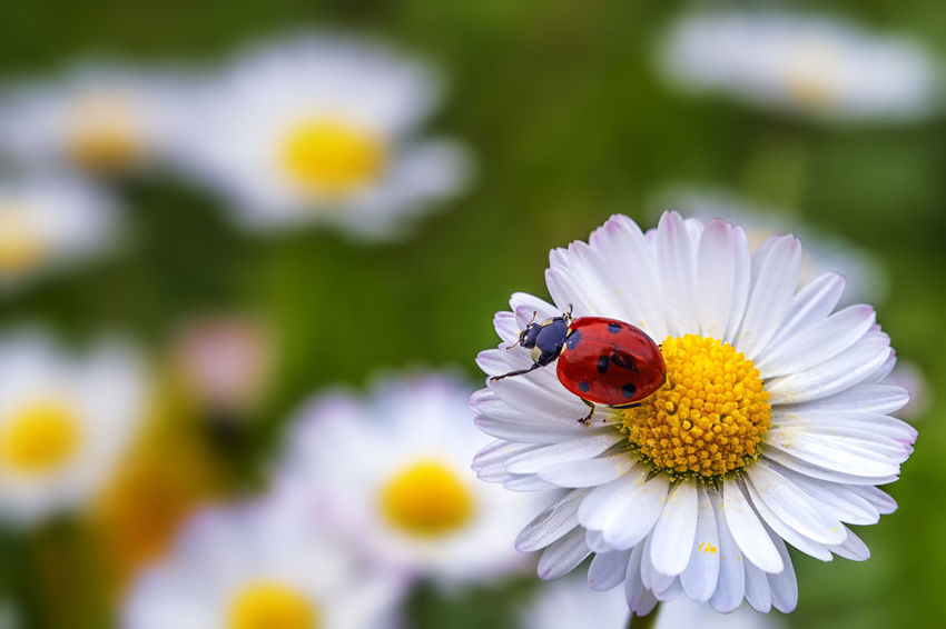 freedom Animal Themes Animals In The Wild Beauty In Nature Close-up Daisy Day Flower Flower Head Fragility Freshness Growth Insect Ladybug Macro Nature No People One Animal Outdoors Petal Plant Pollen Pollination