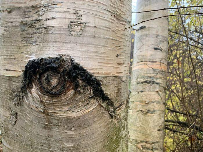 Birken blicken