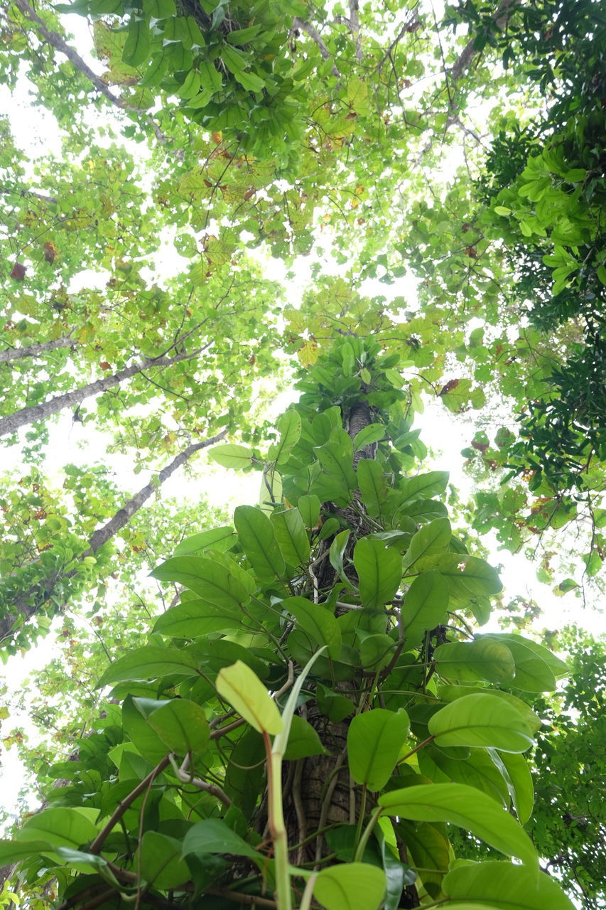 growth, tree, nature, leaf, plant, low angle view, green color, no people, environment, beauty in nature, fruit, day, outdoors, banana tree, freshness, flower