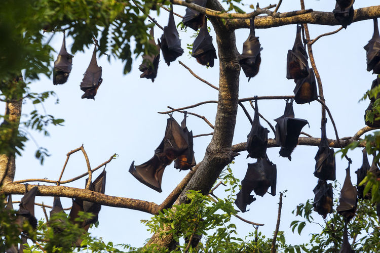 Fruit bats roosting in an island in Coron, Palawan Palawan Wildlife Bats Fruit Bats Chiroptera Tree Branch Hanging Leaf Sky Animal Themes Bat - Animal EyeEmNewHere