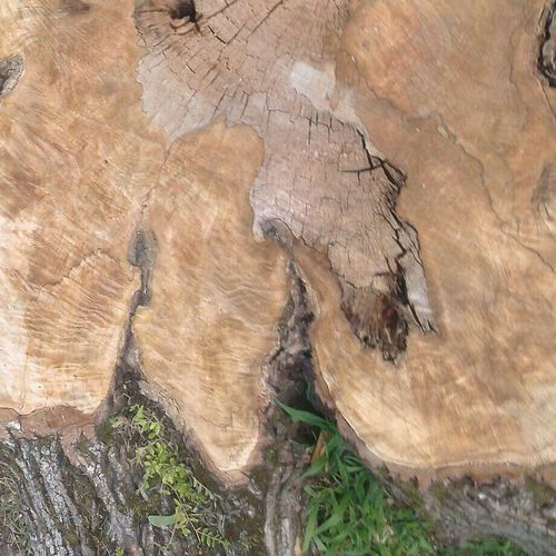 Wood Would Tree Stump