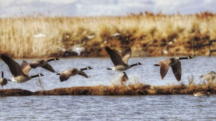 Canada geese flying over river