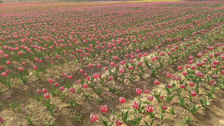 The grass flower Backgrounds Blooming Bright Color Cover Plant Field Fields Flora Flowering And Flowering Plants Flowers Flowers And Plants Grass Green Many Plants Several Son Wild Flowers The Tulip Festival Flower Flowering Plant Plant Beauty In Nature Freshness Land Growth Landscape Nature Environment Red Abundance Pink Color Flowerbed No People Vulnerability  Fragility Tranquility Rural Scene Outdoors Flower Head
