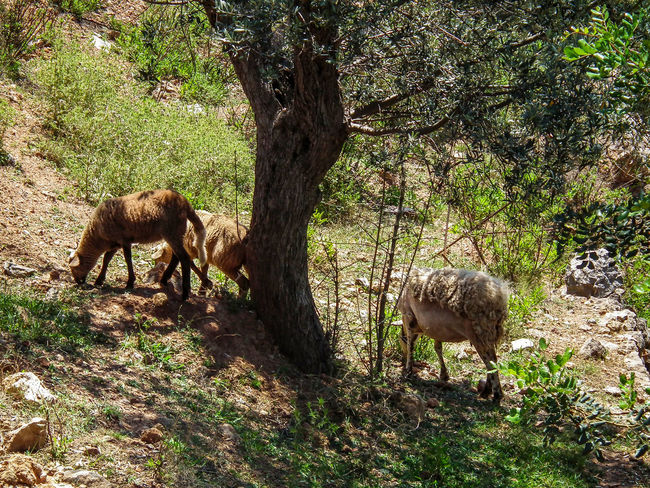 Animal Themes Animals In The Wild Beauty In Nature CAPRA Capre Day Estate Goat Goats Grass Growth Maiorca Mallorca Mammal Nature No People Outdoors Sommer Spagna SPAIN Spanien Summer Sunlight Tree Ziegen