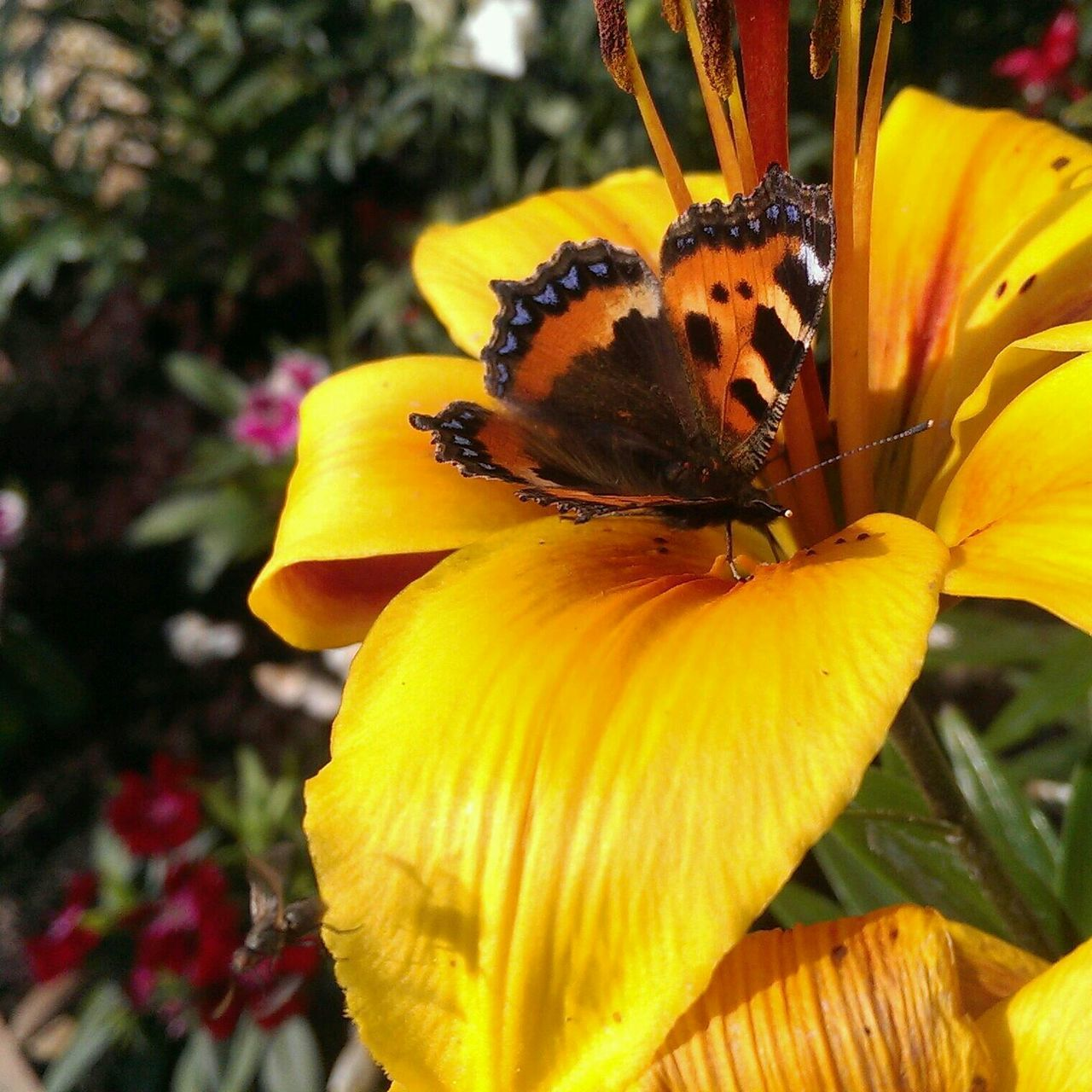 Close-Up Of Butterfly On Lily