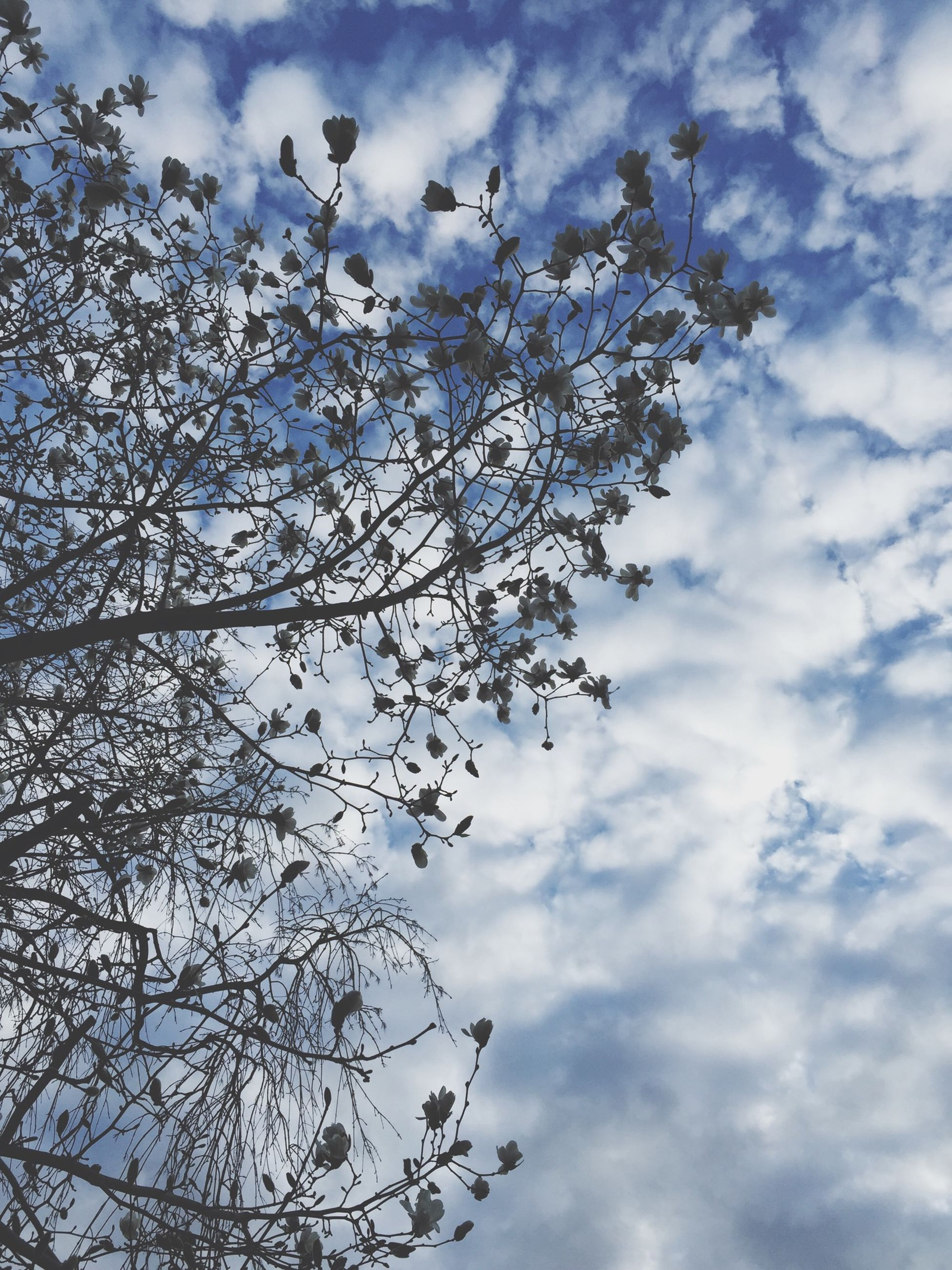 low angle view, sky, tree, branch, cloud - sky, flower, nature, growth, beauty in nature, cloud, cloudy, day, outdoors, blue, cherry blossom, tranquility, freshness, no people, white color, blossom