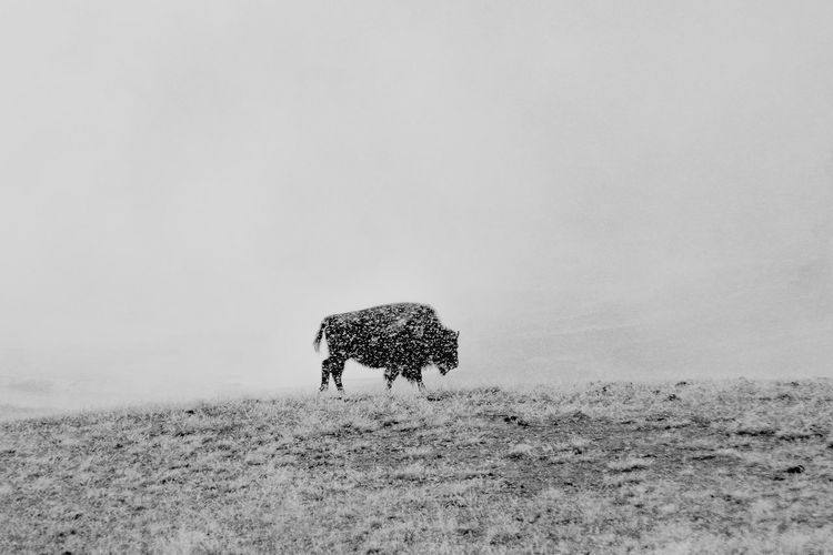 Shades Of Winter Animal Themes Animal Wildlife Animals In The Wild Bison Black And White Extreme Weather Grayscale Landscape Nature One Animal Snow Yellowstone National Park Break The Mold The Great Outdoors - 2017 EyeEm Awards